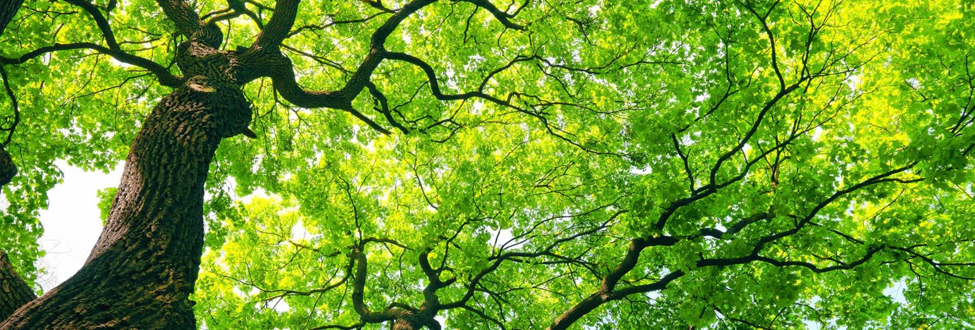 Sydney Tree Removals Arborist Looping Removal Sydney